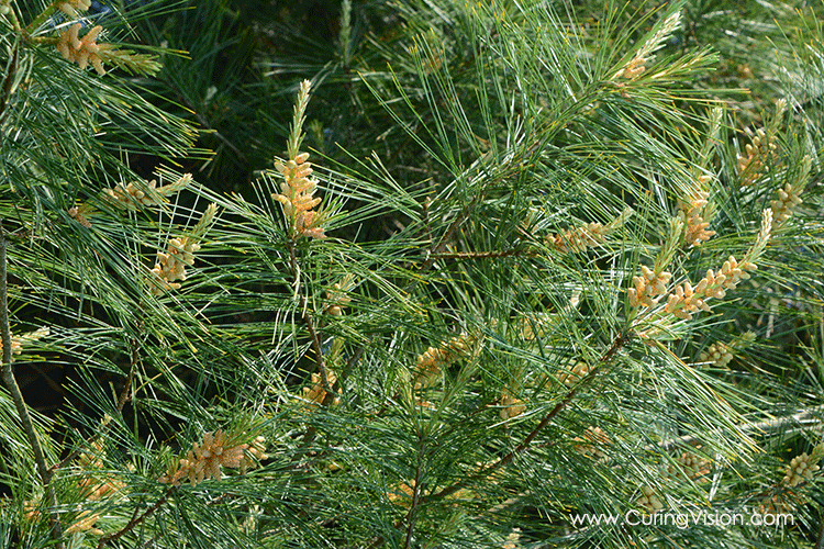 From CuringVision.com, how to collect pine pollen to be used in recipes for smoothies, salads, and dips. Perfect for the Alkaline Diet, The Wahls Protocol, Paleo AIP, Autoimmune Disease Protocol, and Leaky-gut Health.
